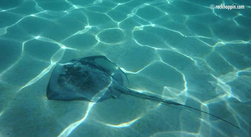 snorkel-white-bay-stingray